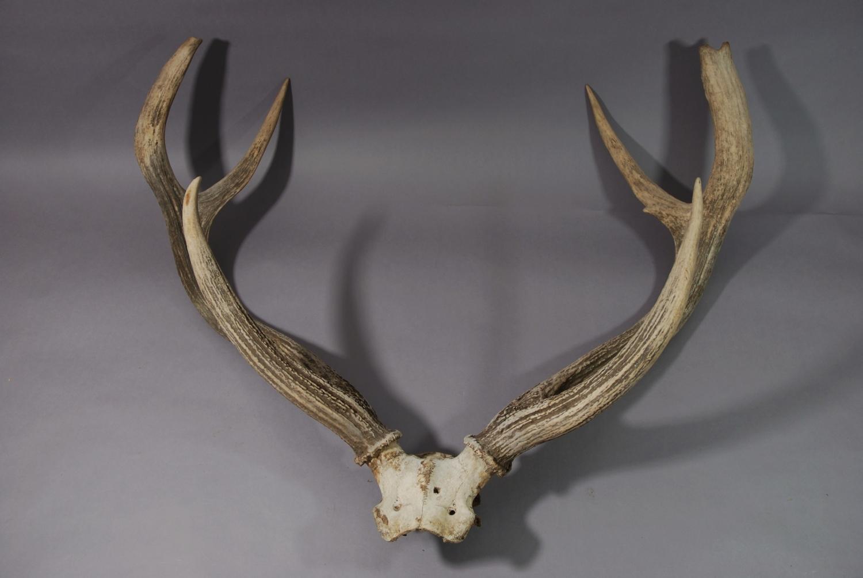 Pair of large stag antlers