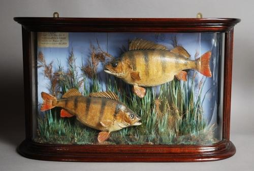 Mid/Late 19th century taxidermy pair of perch