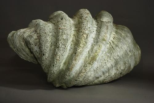Giant clam shell of large proportions