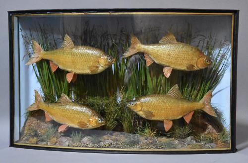 Large bow front case of four specimen roach